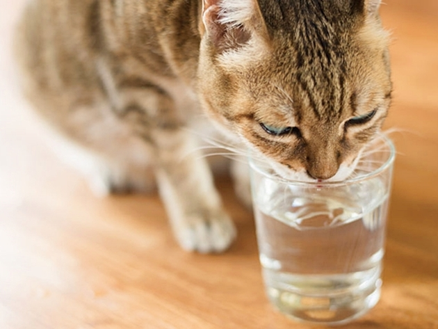 60558466 - cat drink water on the table